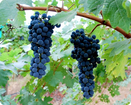 napa grapes on vine