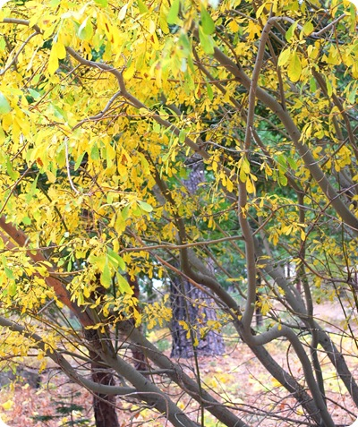 yellow leaves on branches