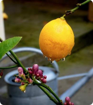 citrus after rain
