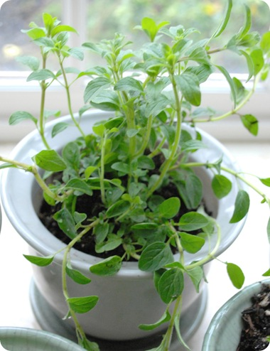 oregano in pot