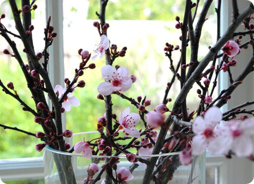 cherry blossom branches in vase