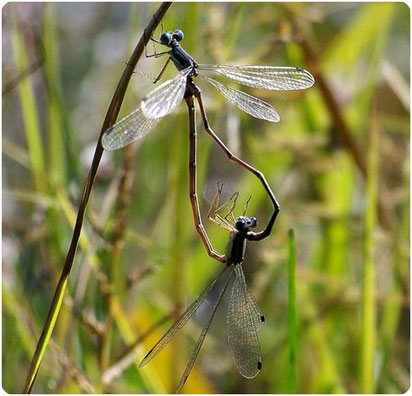 heart of the matter dragonflies