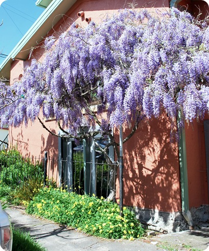 orange house wisteria