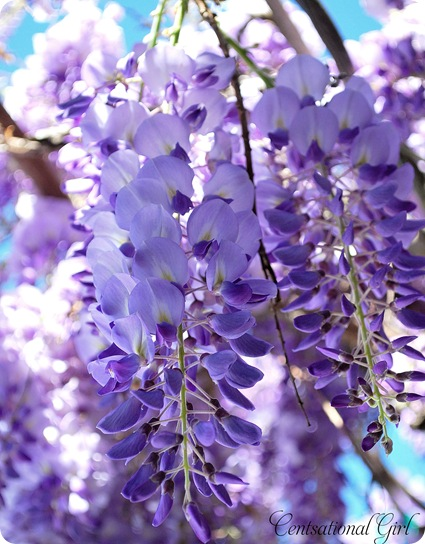 wisteria bloom 2