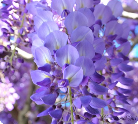 wisteria bloom 3