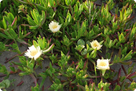 yellow flowering ice plant