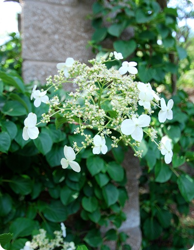 lacy hydrangea