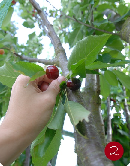 picking cherries 2