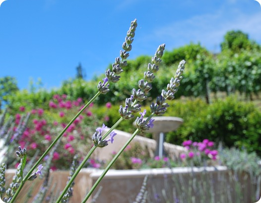 french lavender 2