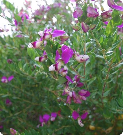 purple perenial