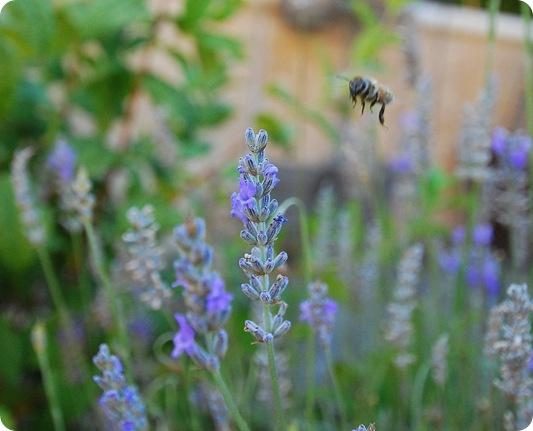 lavender plus bee