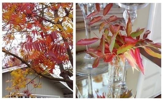 chinese pistache tree duo
