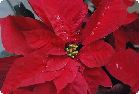 raindrops in red poinsettia
