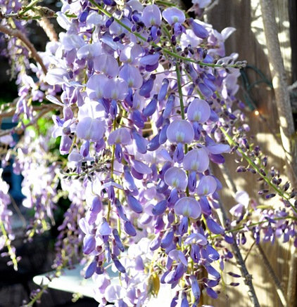 wisteria in bloom
