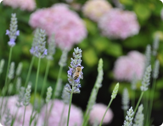 bee on french lavender