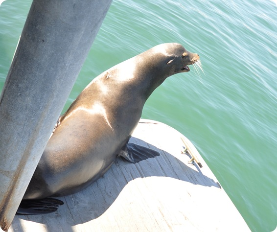 barking sea lion