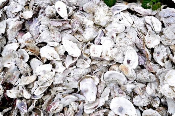 bed of oyster shells