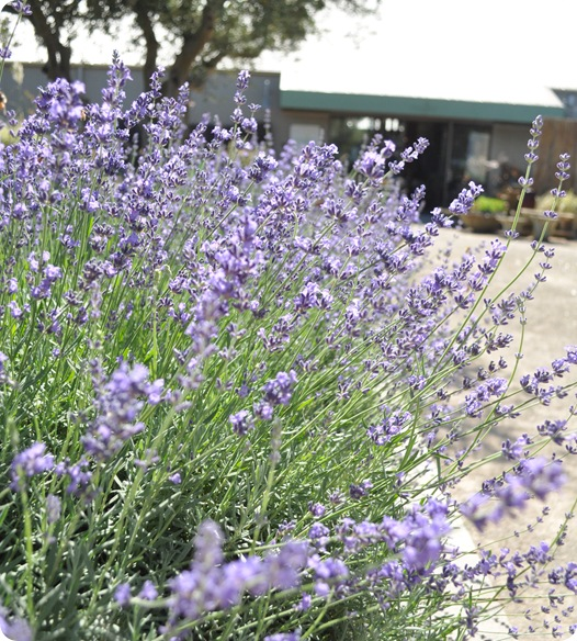 lavender at cornerstone