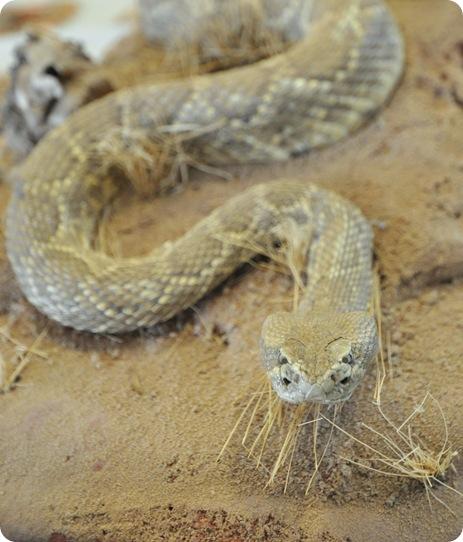 rattlesnake in canyon
