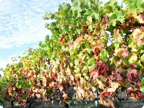 fall leaves vineyard