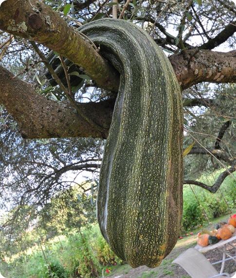 zucchini in tree