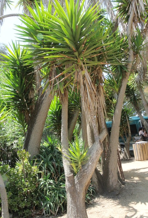 yucca tree in southerncali