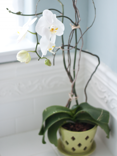 moth orchid in pot