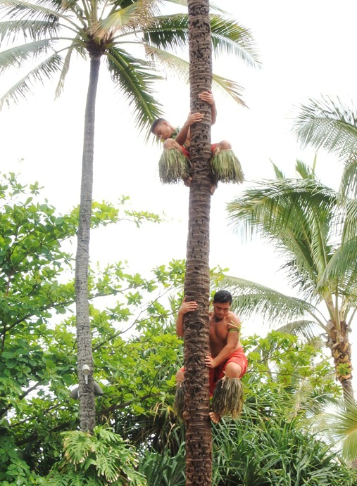 coconut tree climbers