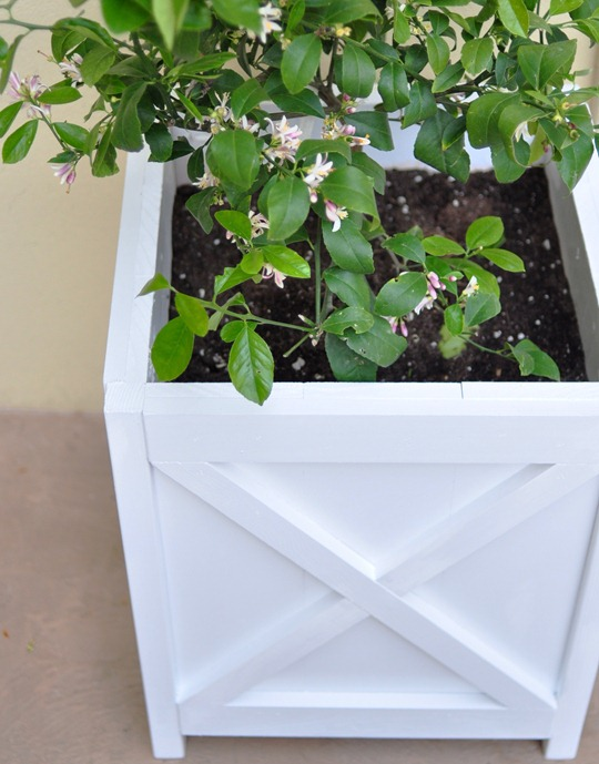 lemon tree in planter