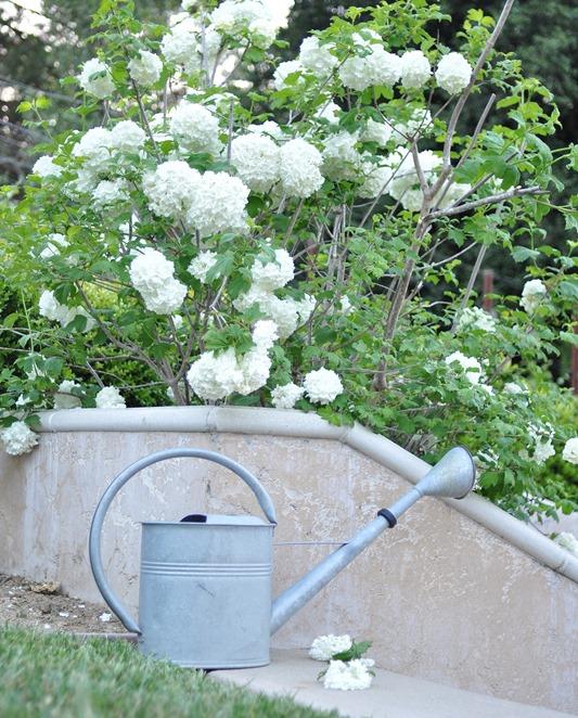 viburnum bush