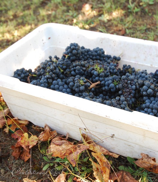grapes in bin outdoors cg