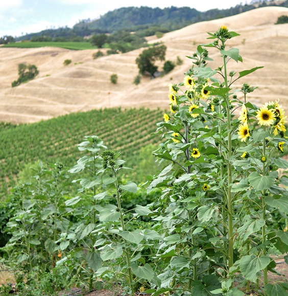 alexander valley view