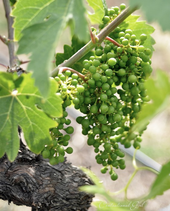 grapes on vine alexander valley