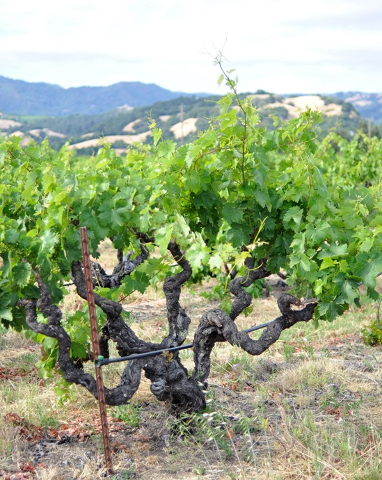 old vine alexander valley