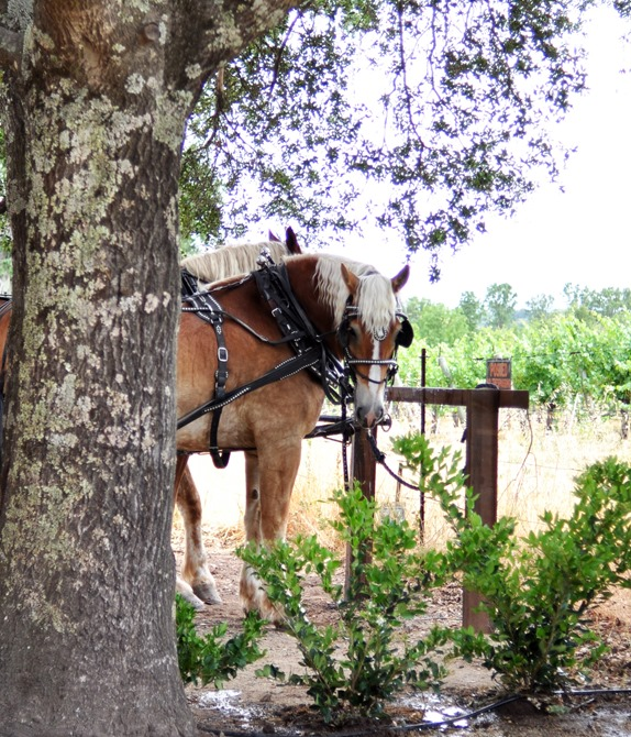 team of clydesdales and tree