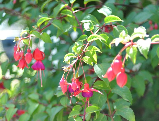 flowering fuschia