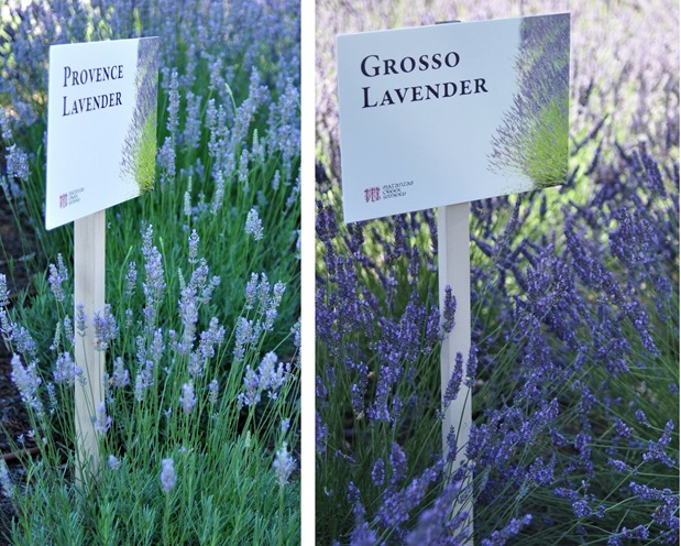 difference between provence and grosso lavender