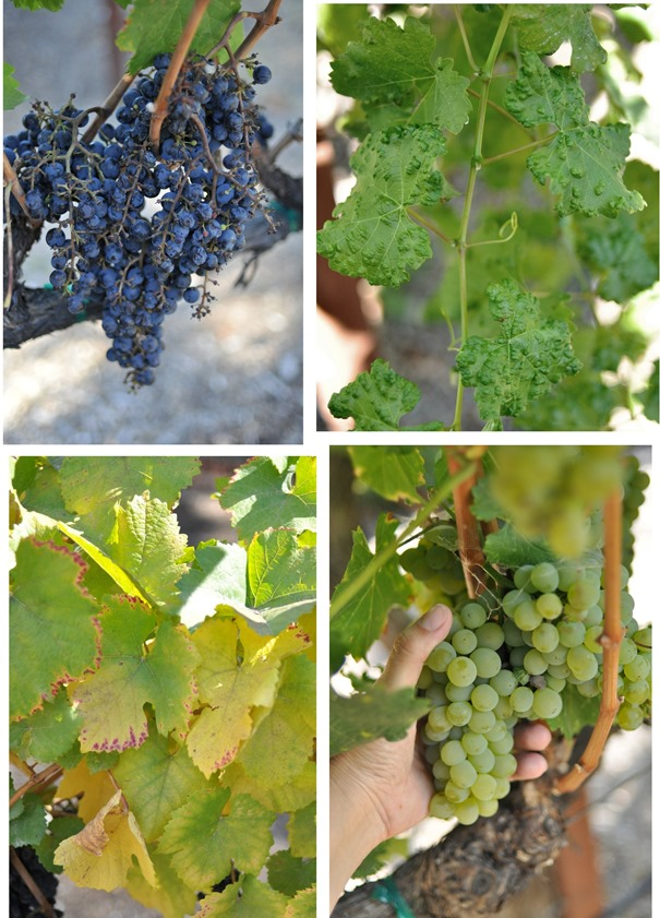 different varietals and leaves