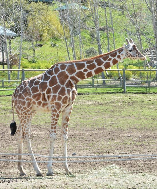 giraffe reticulated
