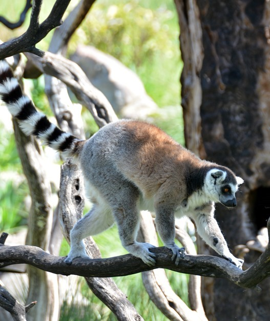 lemur on branch