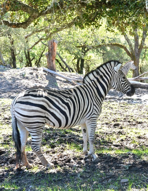 zebra in preserve