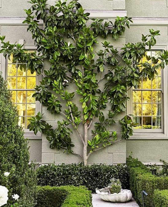 espalier tree informal