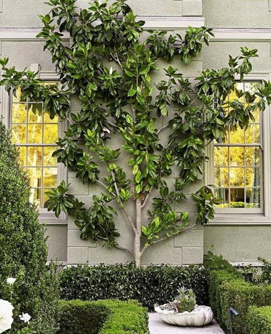 espalier tree informal