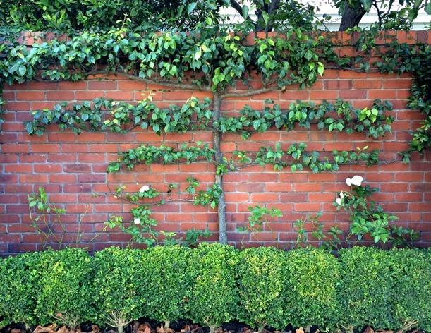 Green Walls Trellised Vines Espalier Trees Centsational Bloglovin