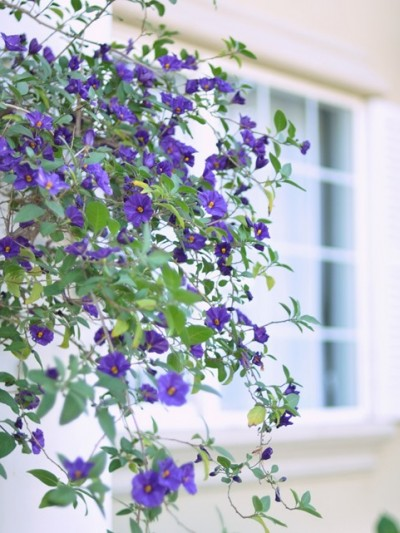 flowering purple vine