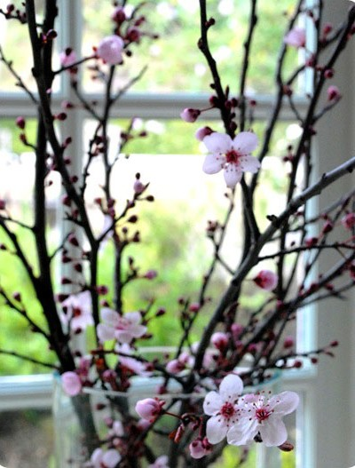 forced cherry blossom branch