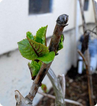 hydrangea bud