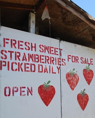 strawberries picked daily