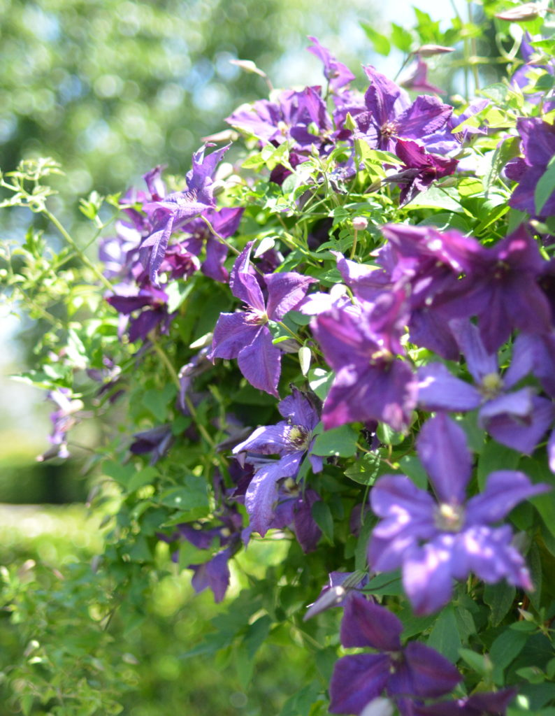 purple flowering vine